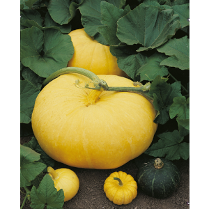Zaad Large Yellow Gele Reuze Pompoen 100st